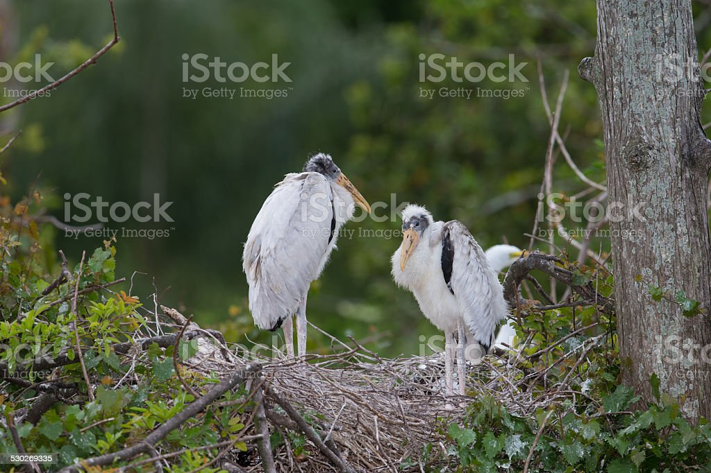 Wood Stork young during breeding season stock photo