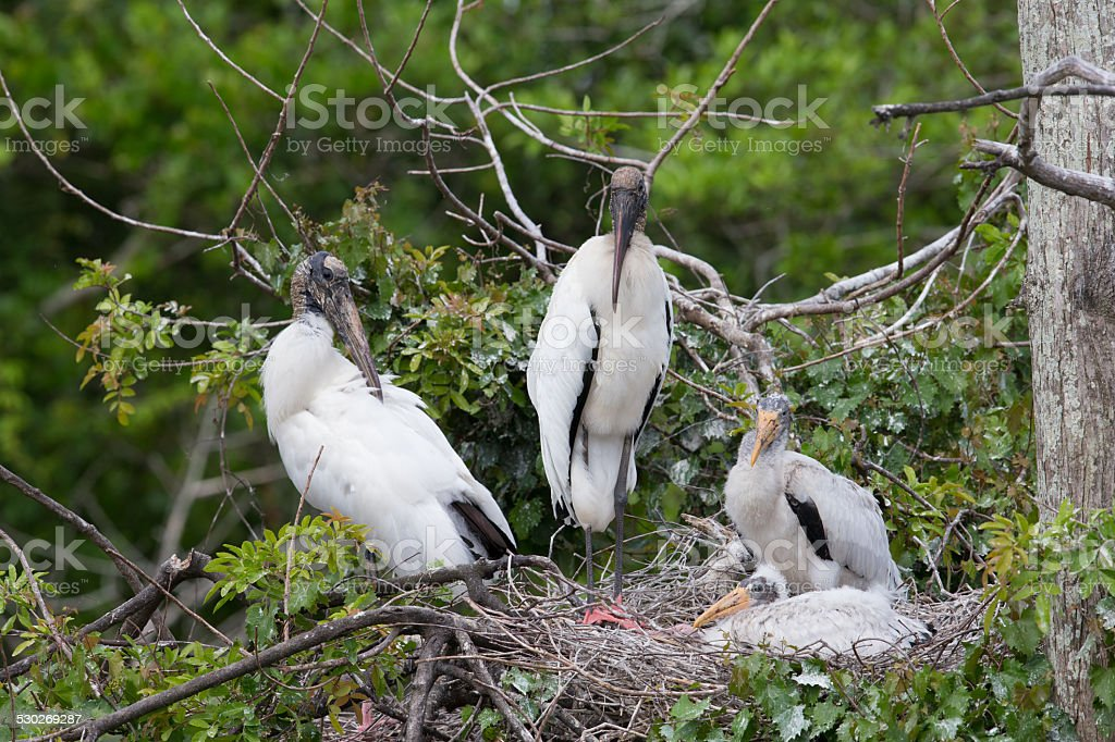 Wood Stork young with adults during breeding season stock photo