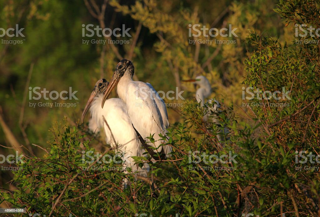 Wood Storks stock photo