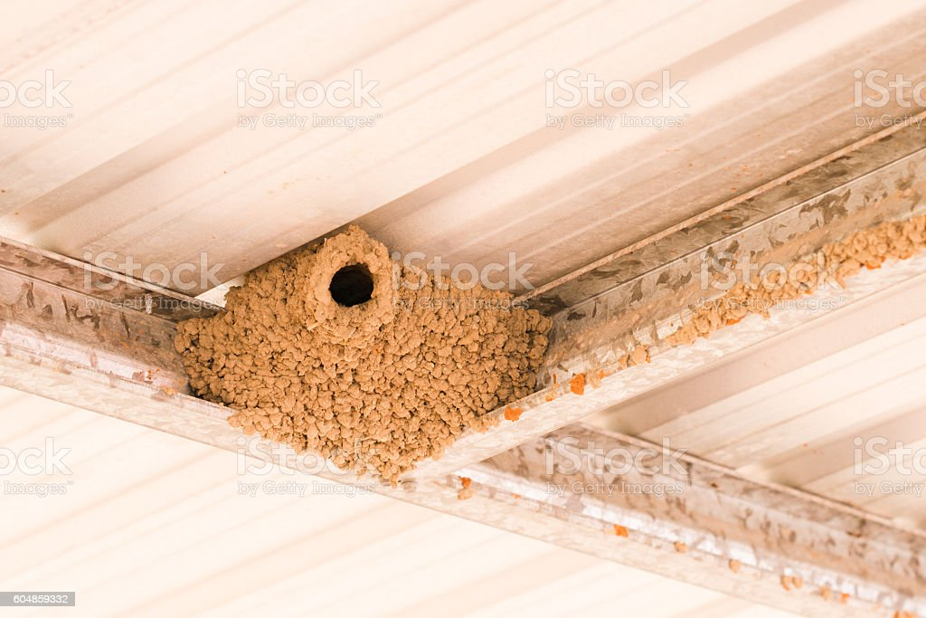 Wood swallow mud nest stock photo