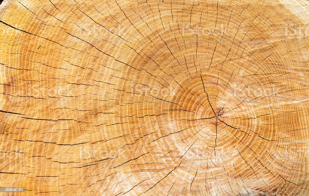 wood texture of cutted tree trunk stock photo