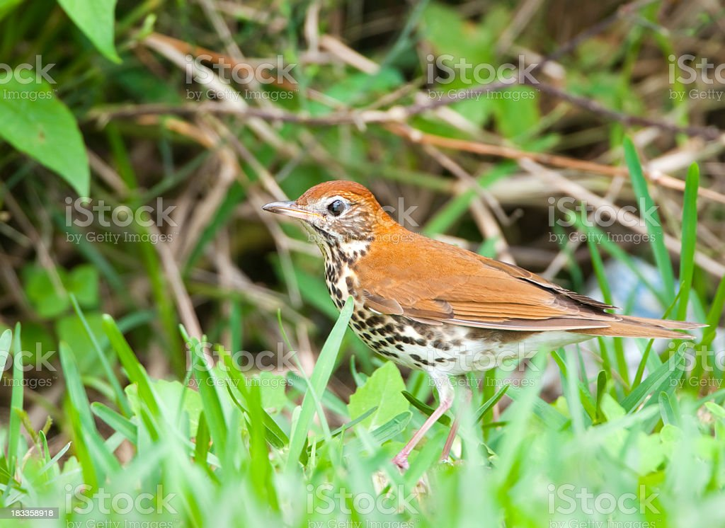 Wood Thrush royalty-free stock photo