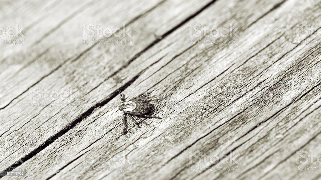 Wood Tick stock photo