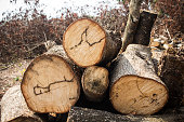 wood tree cutted