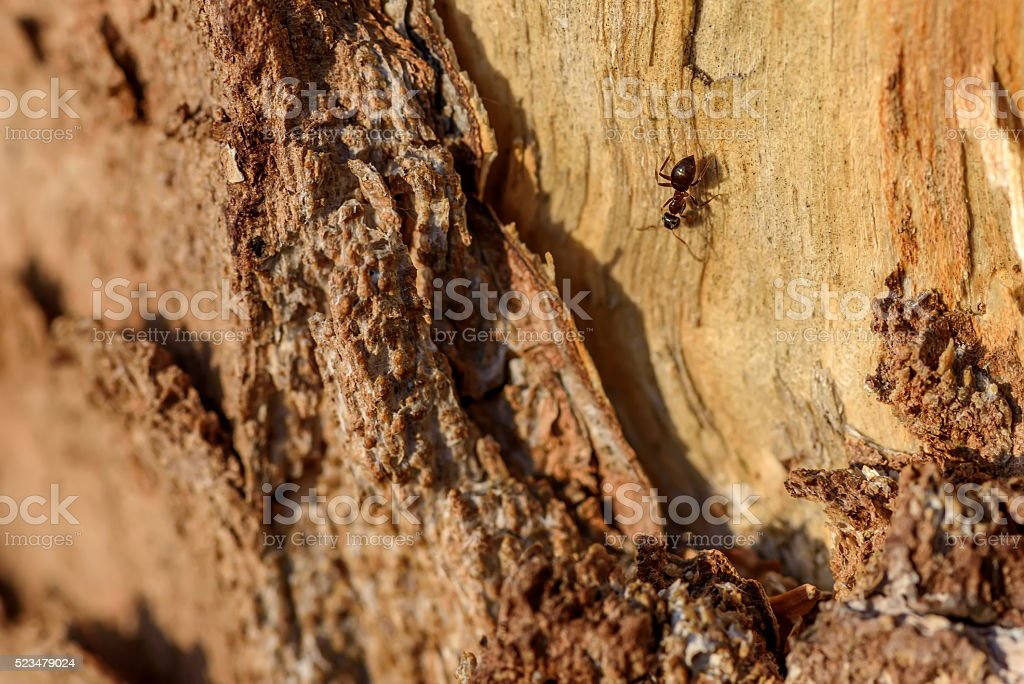 wood trunk ant texture stock photo