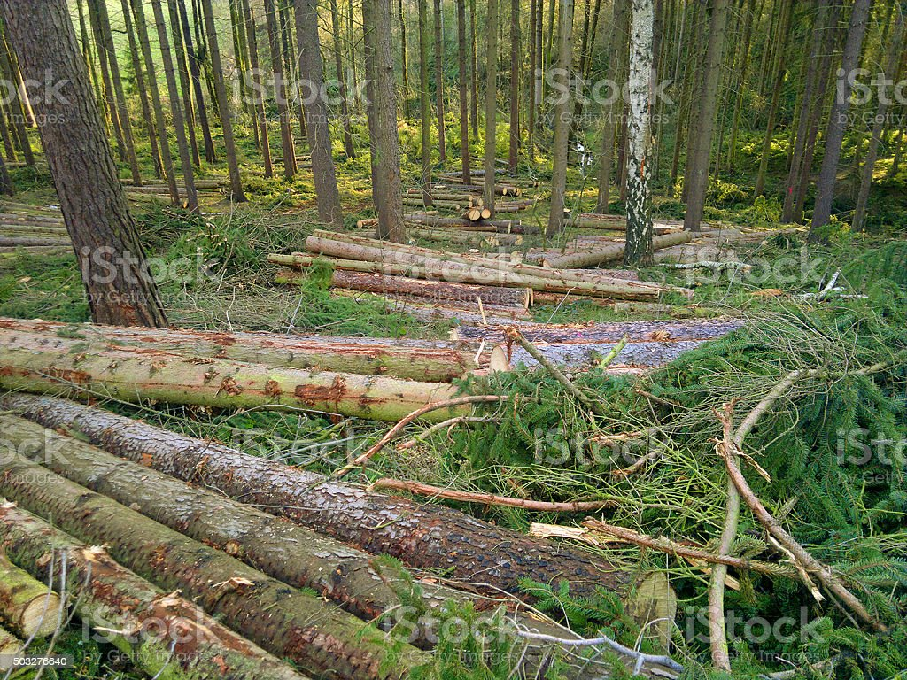 wood trunks after deadfall because of heavy storm stock photo