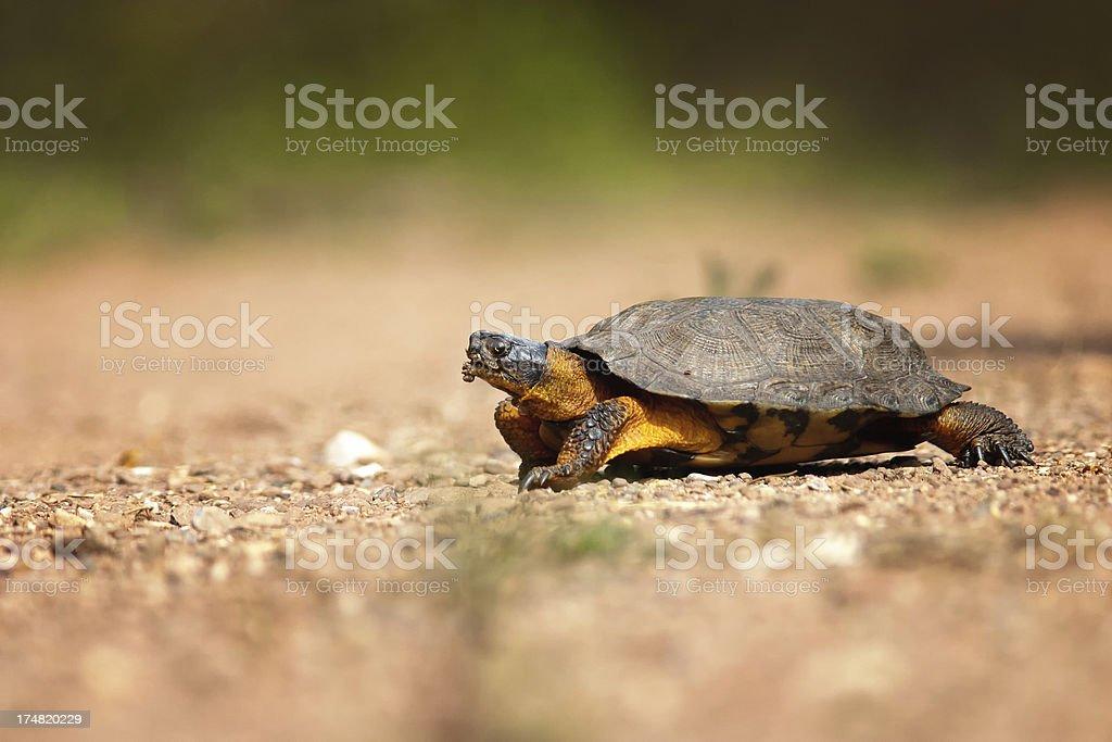 Wood Turtle stock photo