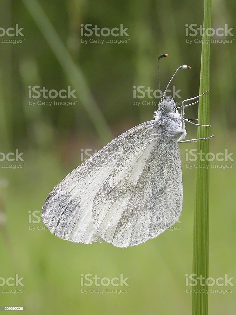 Wood White (Leptidea sinapis) royalty-free stock photo