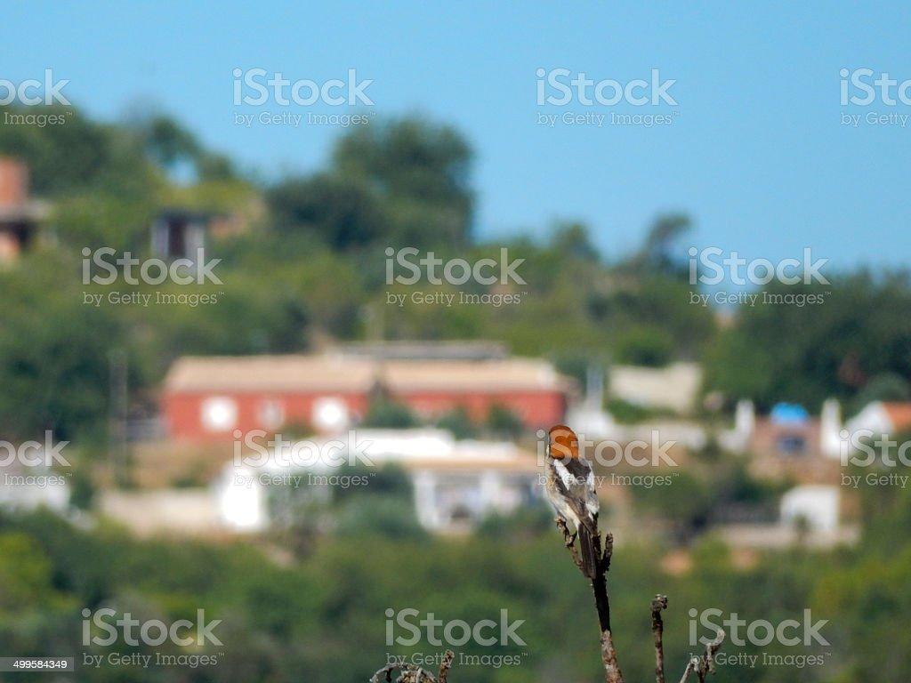 Woodchat Shrike looking at Paderne village royalty-free stock photo