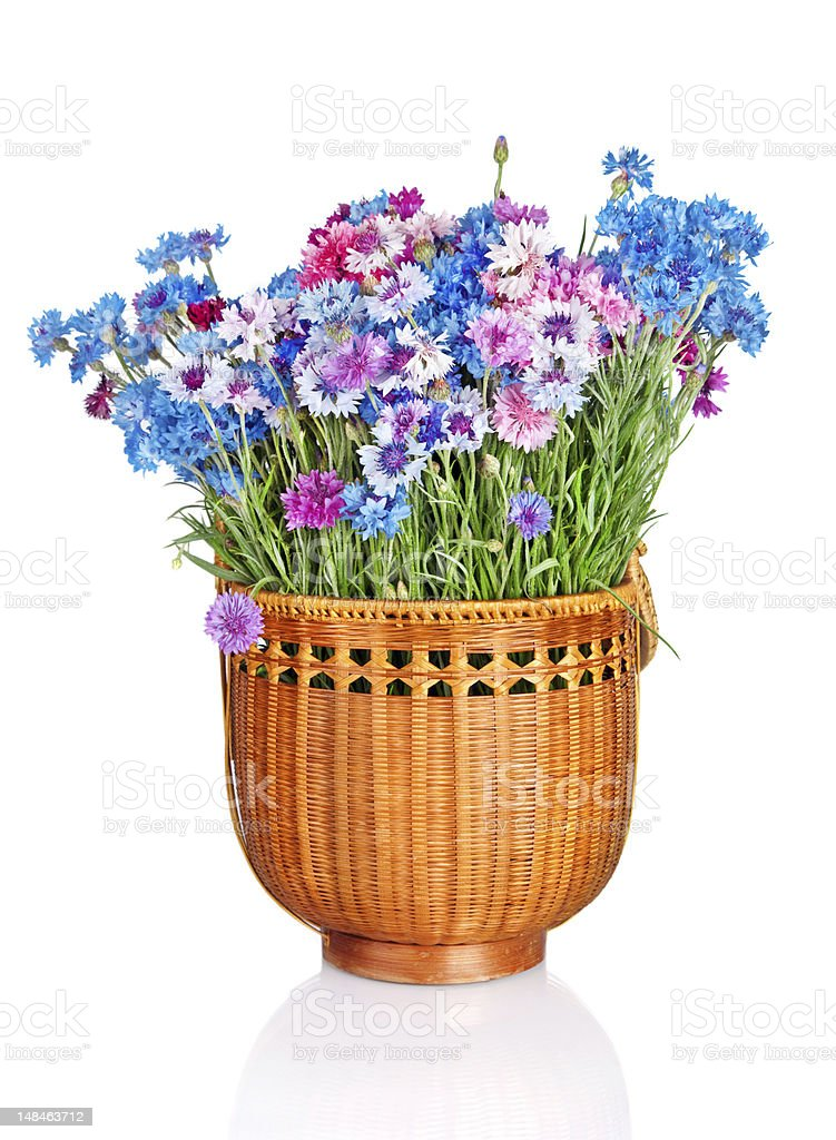 wooden basket with beautiful cornflowers isolated on white background royalty-free stock photo