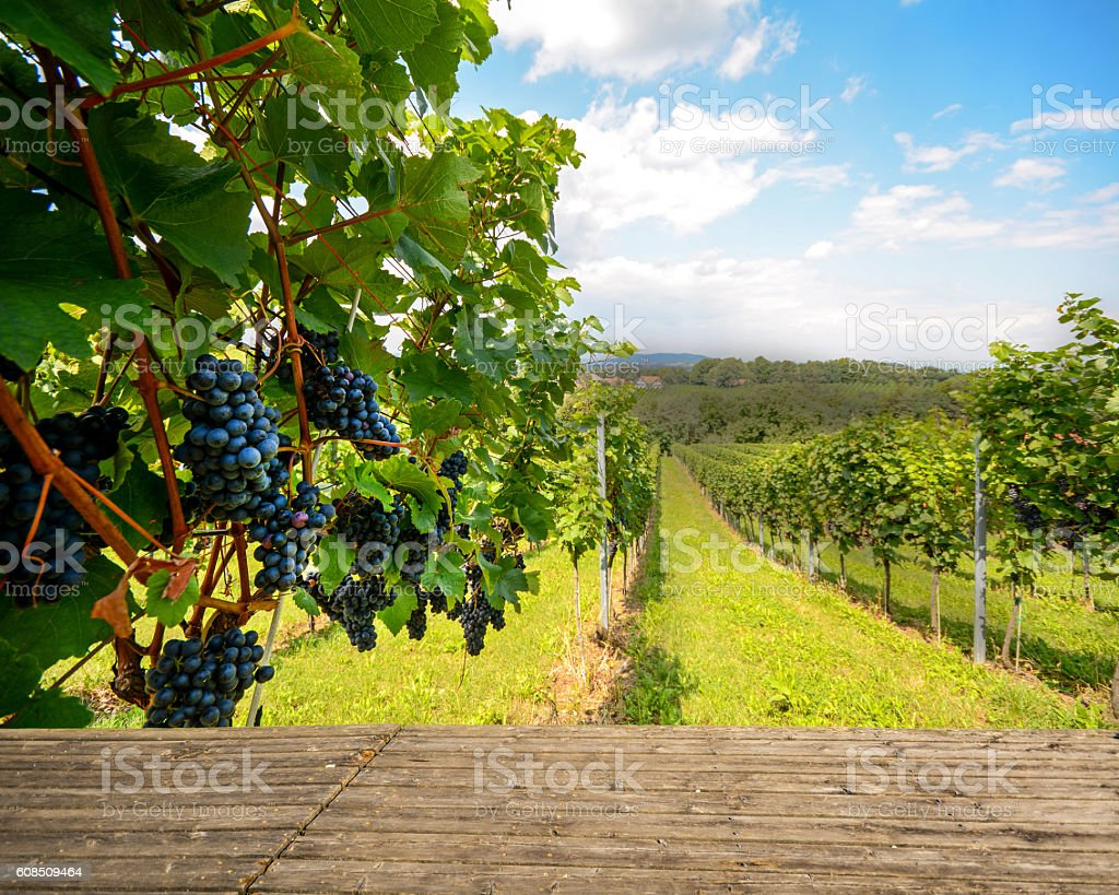 Wooden bench in vineyard with red wine grapes stock photo