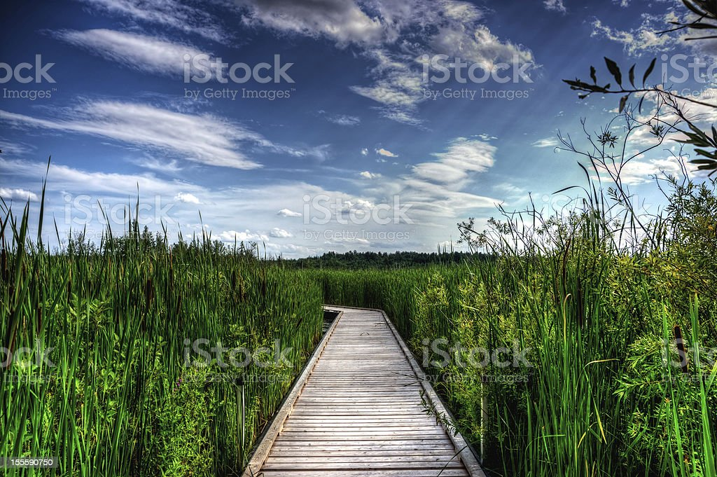 Wooden Boardwalk in Tall Reeds royalty-free stock photo