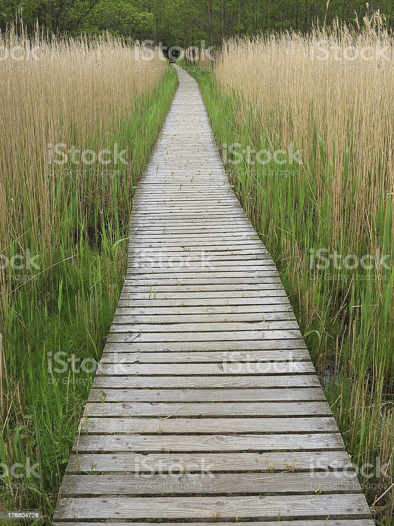 Wooden Boardwalk in Tall Reeds stock photo