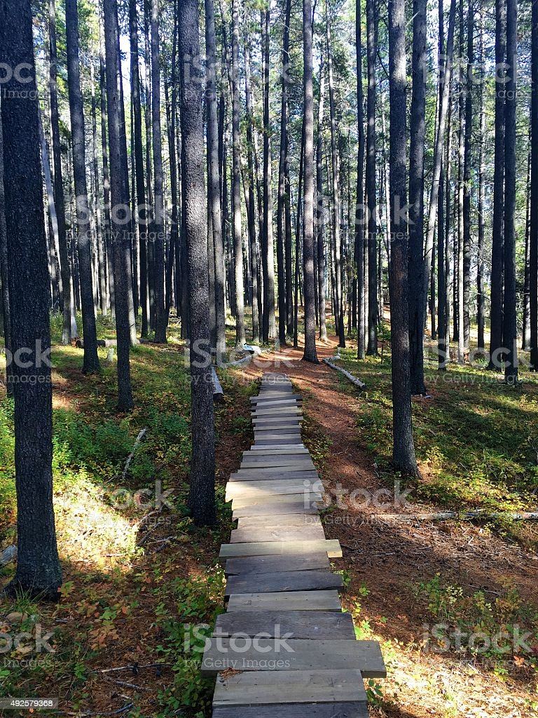 Wooden boardwalk pathway through forest of lodgepole pine trees stock photo