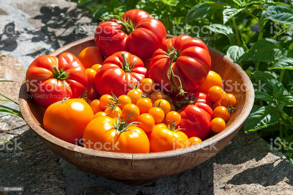 Wooden bowl of fresh picked red and gold tomatoes stock photo