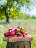 Wooden box of red apples in a apple orchard.