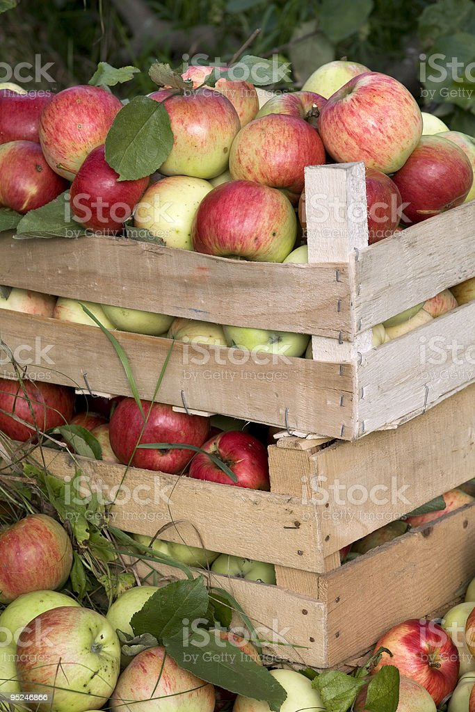 wooden boxes full of ripe apples royalty-free stock photo