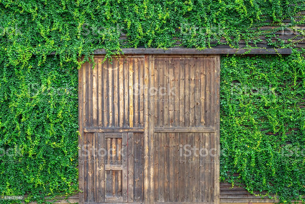 Wooden door and wall covered with vines photo libre de droits