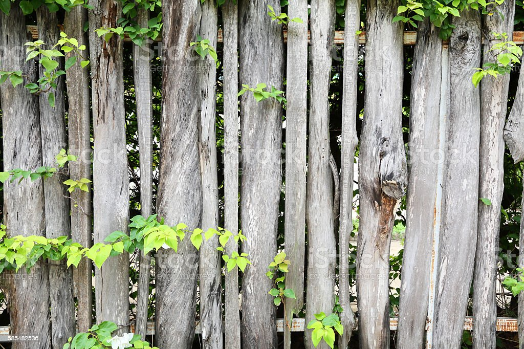 wooden fence overgrown with green leaf. stock photo