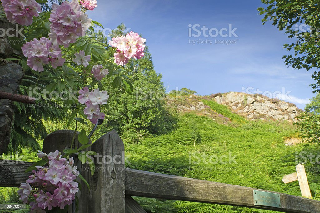 Wooden gate and rose royalty-free stock photo