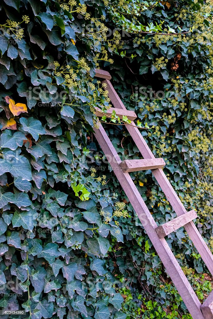 wooden ladder in the vines stock photo