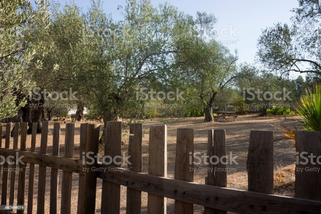 Wooden rail fence with Olive Trees stock photo