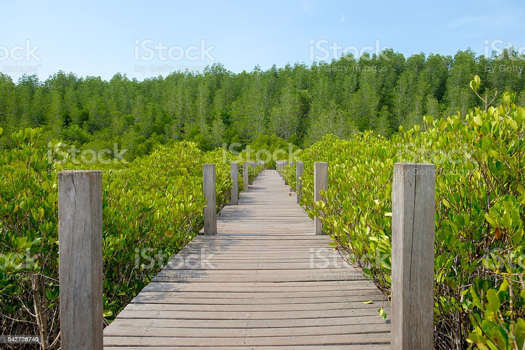 Wooden walkway bridge surrounded with Ceriops Tagal field in man stock photo