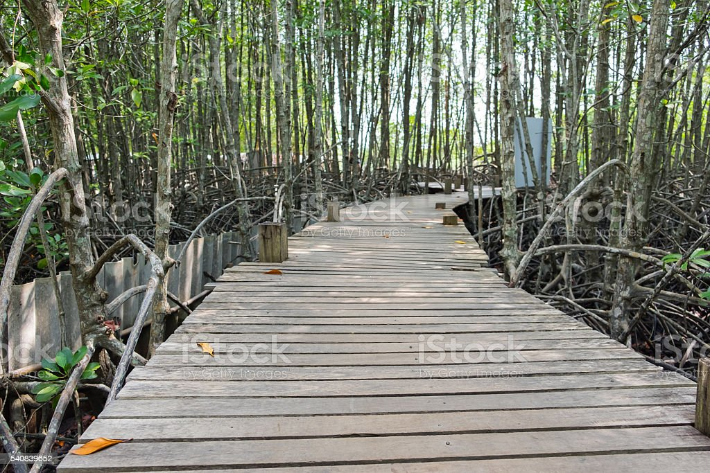 Wooden walkway bridge with mangrove tree in mangrove forest stock photo