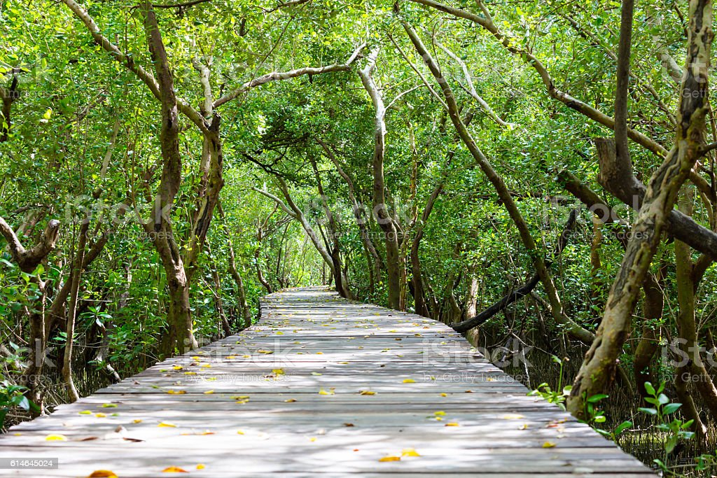 Wooden walkway into mangrove forest6 stock photo
