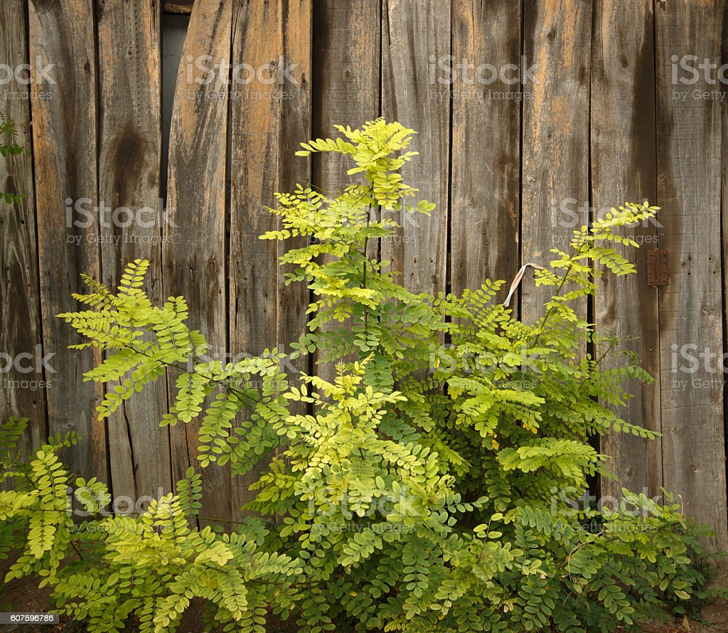 Wooden wall and locust tree stock photo