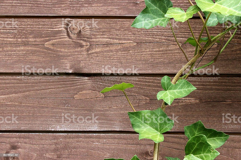 Wooden wall with ivy tendril stock photo