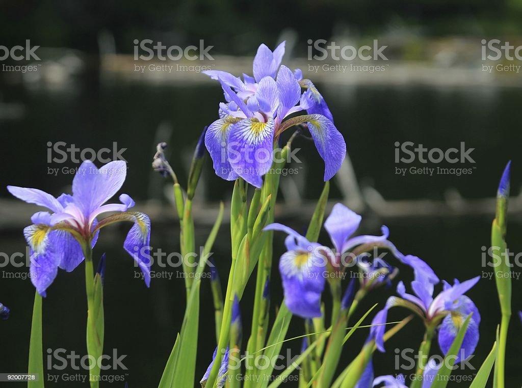 Woodford Lake Dwarf Iris Closeup stock photo