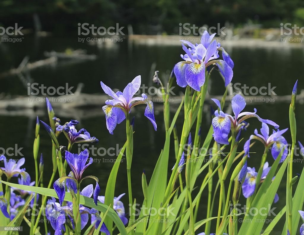 Woodford Lake Dwarf Iris stock photo