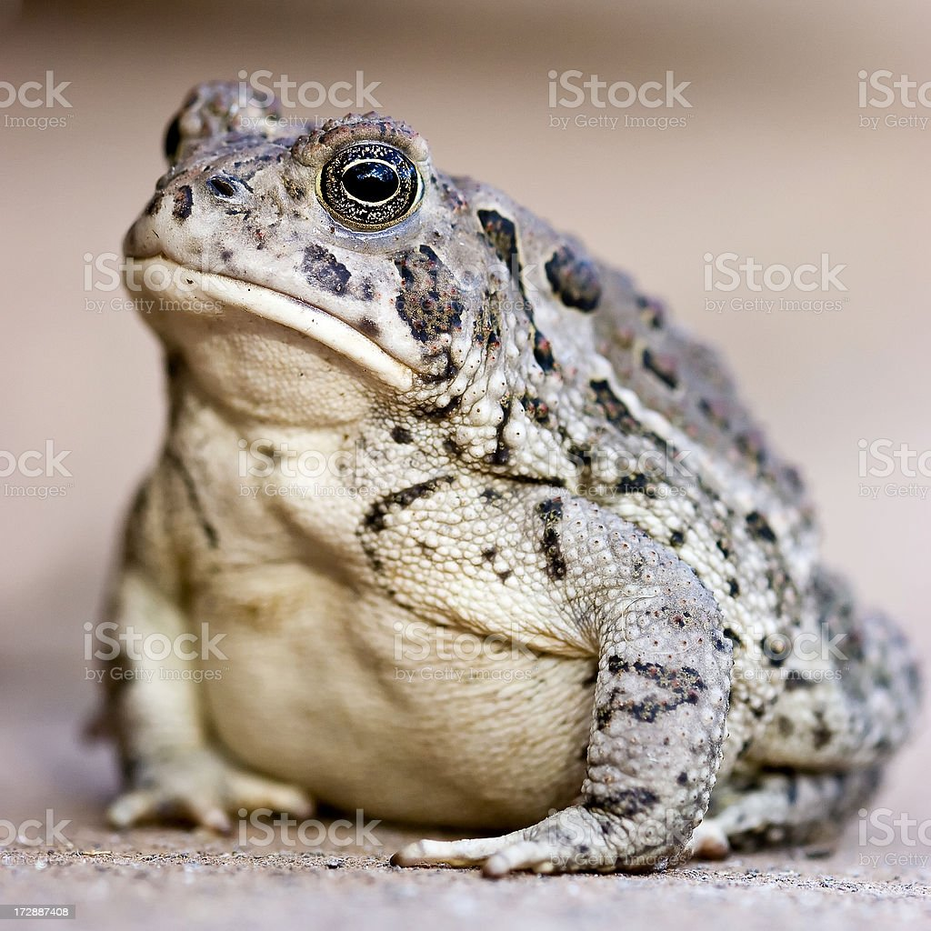 Woodhouse's Toad royalty-free stock photo