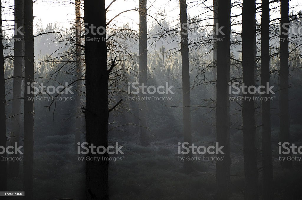 Woodland Beams royalty-free stock photo