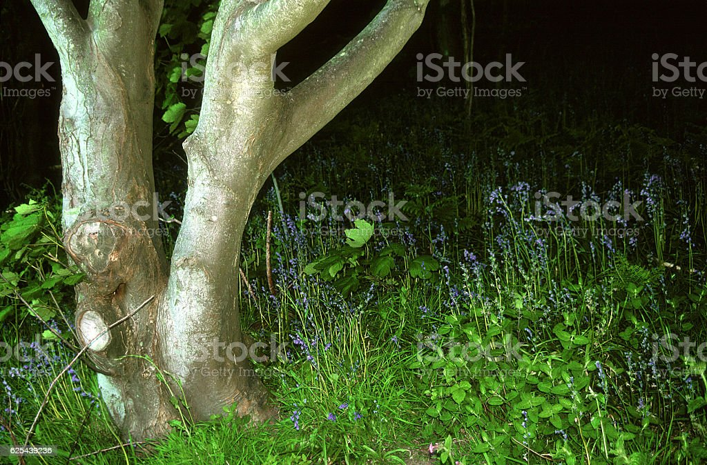 woodland. bluebells. south downs. sussex. stock photo