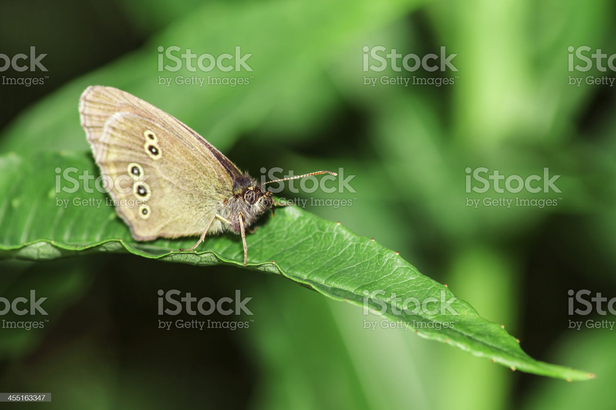 Woodland Brown (Lopinga achine) royalty-free stock photo