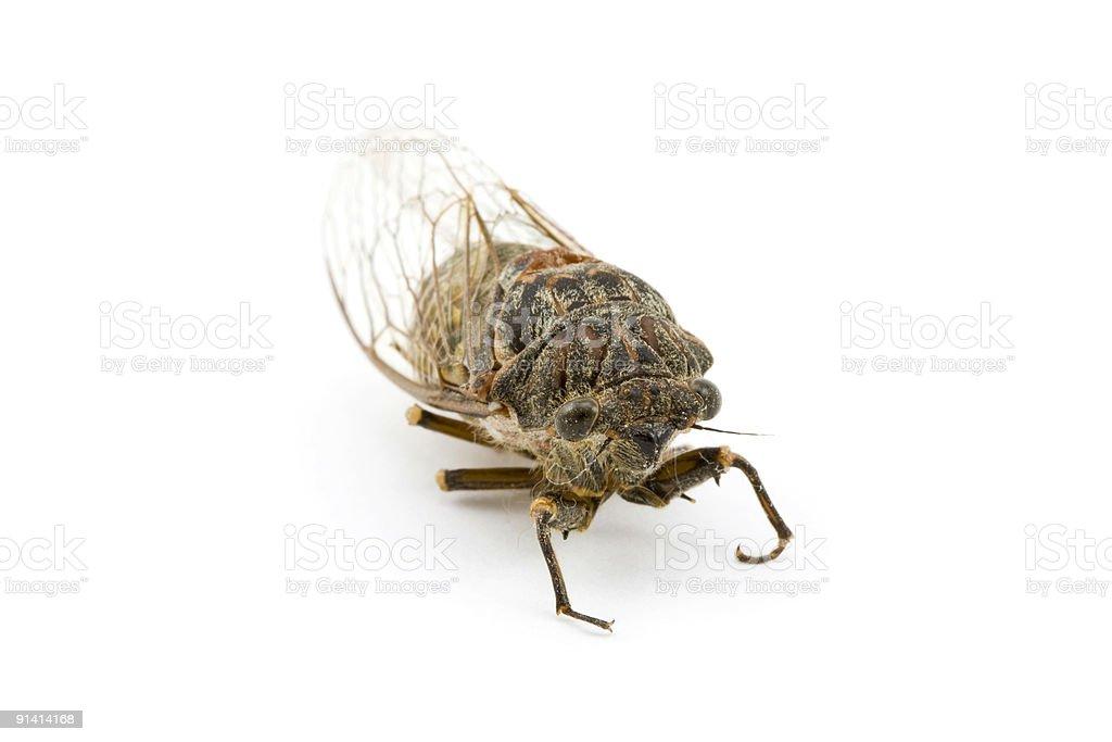 Woodland Cicada 2 royalty-free stock photo