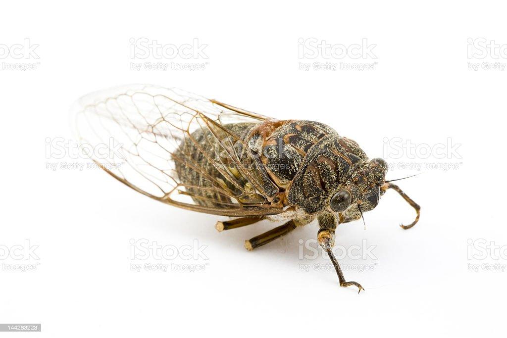Woodland Cicada royalty-free stock photo