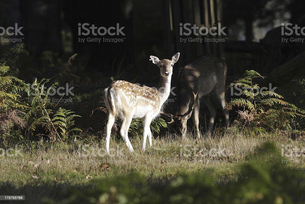 Woodland edge feeding female fallow male red deer stag stock photo