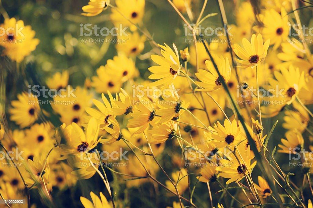 Woodland Golden Yellow Sunflower Coneflower Daisiy Flowers in the Sunshine stock photo
