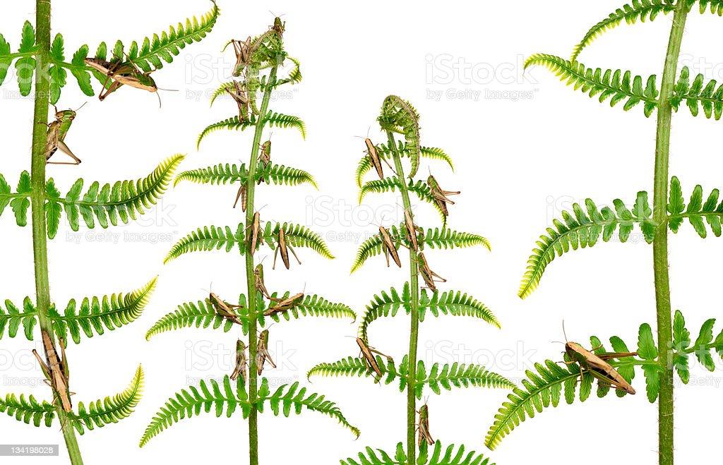 Woodland Grasshoppers, Omocestus rufipes, on fern, white background. royalty-free stock photo