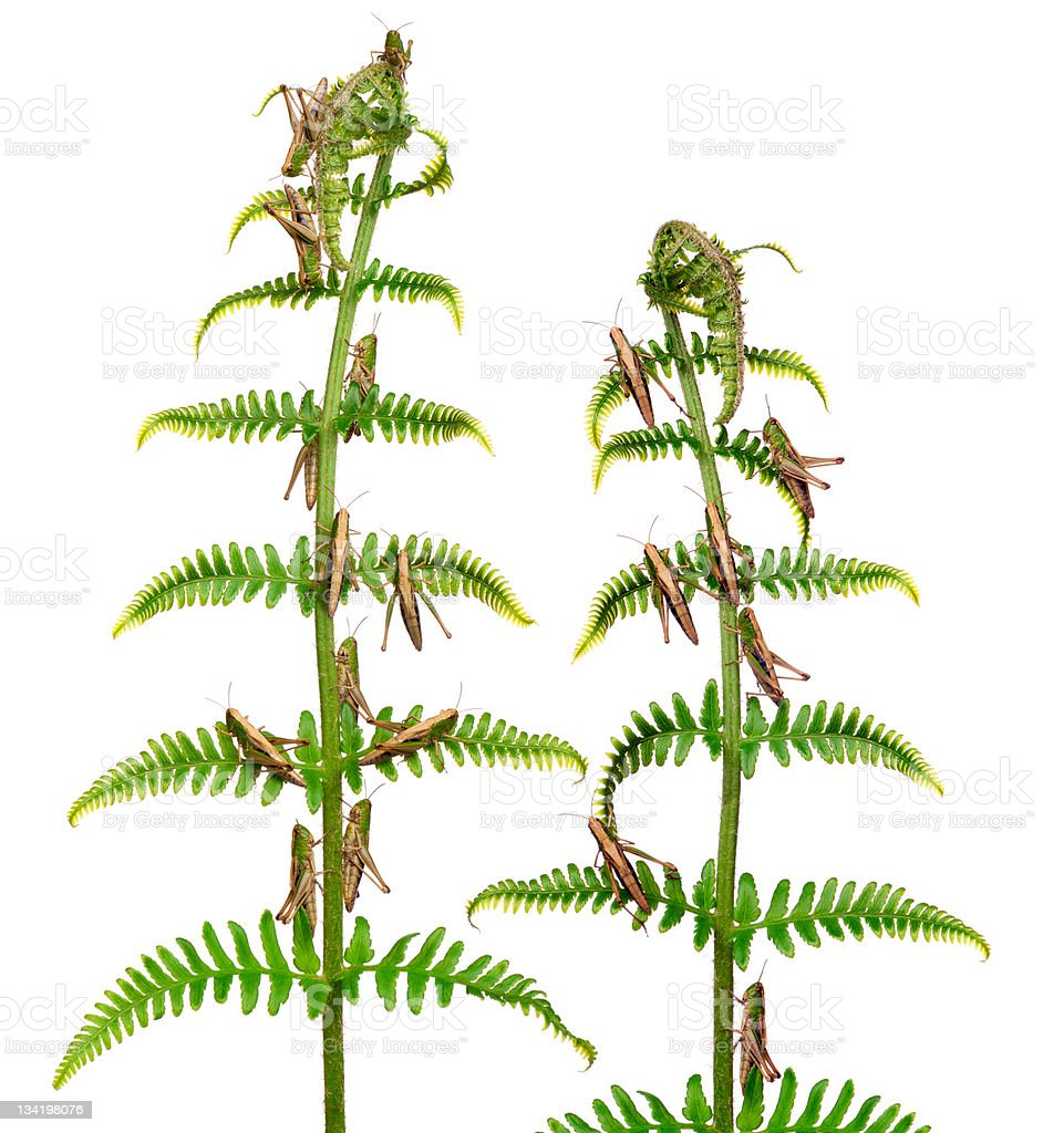 Woodland Grasshoppers, Omocestus rufipes, on fern, white background. royalty-free stock photo