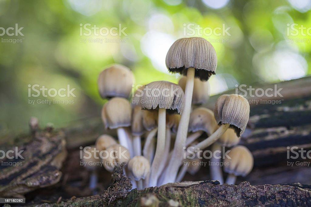 Woodland Mushrooms royalty-free stock photo