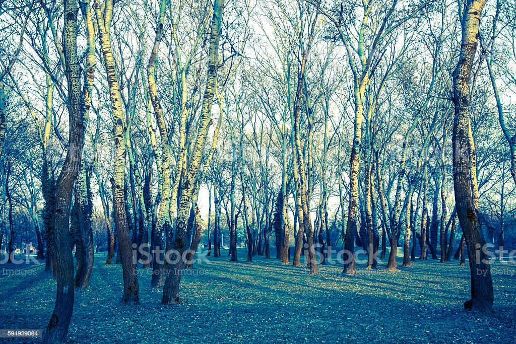 Woodland of silver birch trees stock photo