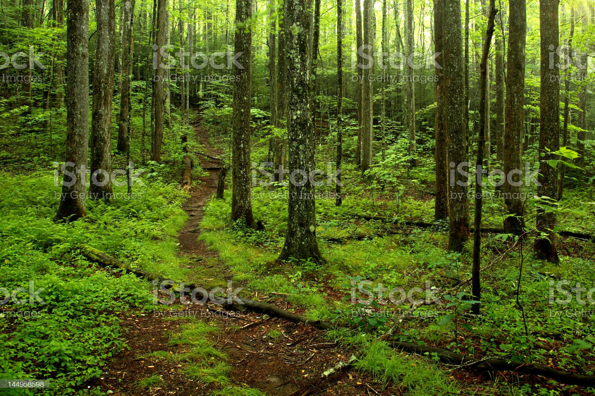A woodland path going through the green forest royalty-free stock photo