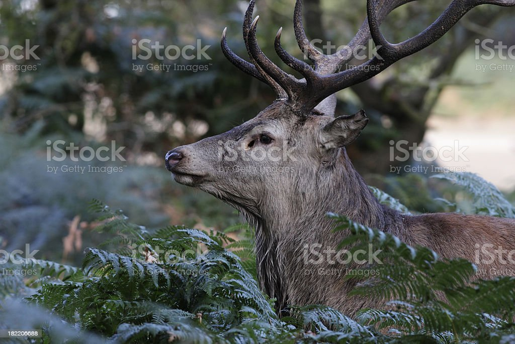 Woodland red deer stag pauses from bellowing roaring stock photo