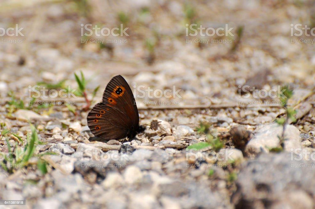 Woodland Ringlet Butterfly stock photo