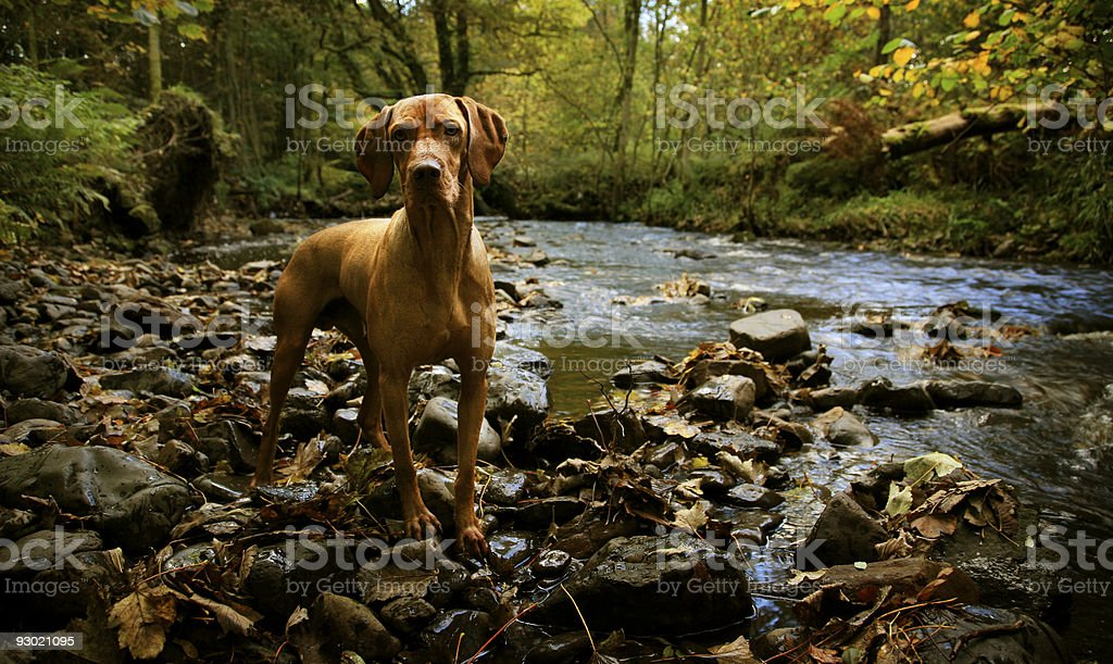 Woodland River with Dog stock photo