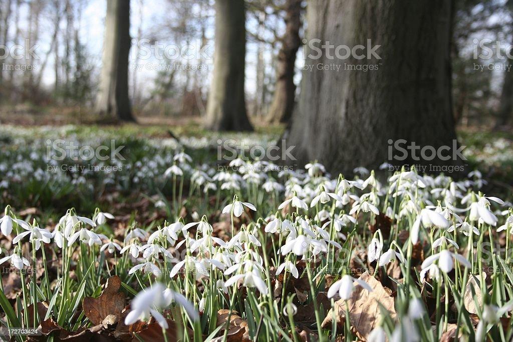 Woodland snowdrops royalty-free stock photo